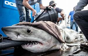 Researchers Track Several Great White Sharks Foraging Off