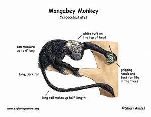 Monkey  Mangabey