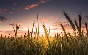 Download Wallpaper 1680x1050 Wheat field, sky, clouds ...