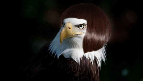 Alopecia Fail: Embarrassed Bald Eagle Clearly Wearing a