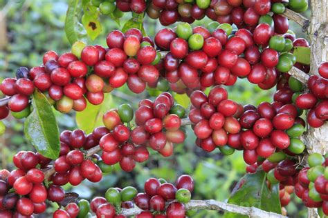Allow each bean to ferment by soaking it in water for several days. Coffee tree with coffee bean on cafe plantation - License, download or print for £12.40   Photos ...