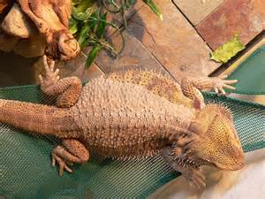 strange symptoms and behavior bearded dragon org