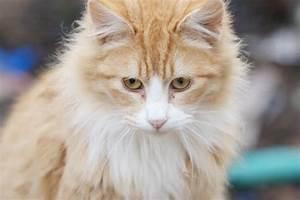 Fluffy Orange Tabby Cats | www.imgkid.com - The Image Kid ...