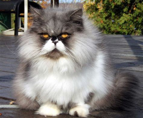 Grooming Of Persian Cats  Annie Many