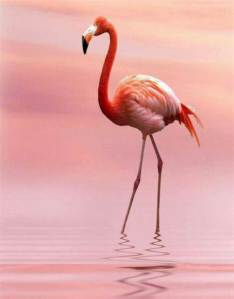 les  meilleures images du tableau flamants roses sur