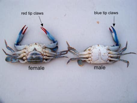 blue crabs   fishing bait