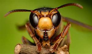 Uk Hornet Warning  Insects The Size Of Mice Spotted