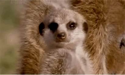 Sleepy Meerkats Meerkat Bed Should Animals Probably