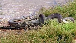 Snake eats crocodile for breakfast: amazing photos, video ...