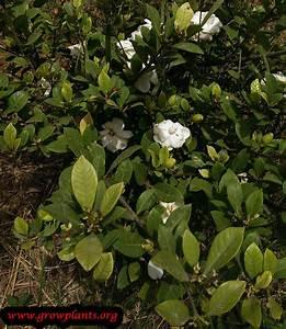 Gardenia Jasminoides Pflege : gardenia jasminoides how to grow care ~ A.2002-acura-tl-radio.info Haus und Dekorationen