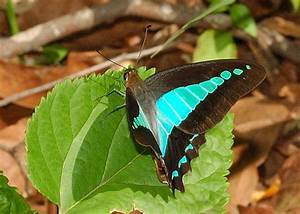 Blue Triangle Butterfly