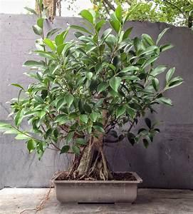 Bonsai Ficus Ginseng : bonsai ficus ginseng akce latest home decor and design ~ Buech-reservation.com Haus und Dekorationen