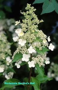 Hydrangea Paniculata Schneiden : hydrangea paniculata 39 kyushu 39 auf stamm ~ Lizthompson.info Haus und Dekorationen