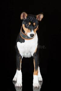 Tricolor Basenji Dog On Black Stock Photo - Image: 53957262