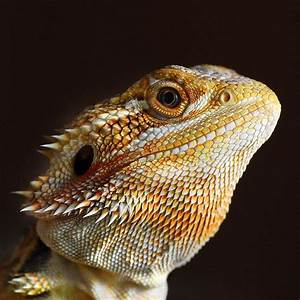 Bearded Dragon | Pets | Pinterest