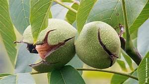 Schmale Bäume Für Kleine Gärten : walnuss f r kleine g rten schweizer garten ~ Whattoseeinmadrid.com Haus und Dekorationen