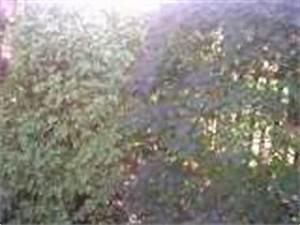 Immergrüne Pflanzen Für Balkonkasten : pflanze strauch garten str ucher heimische bl hende str ucher ~ Markanthonyermac.com Haus und Dekorationen
