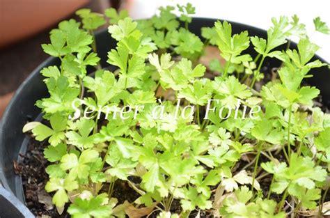 semer persil en pot le printemps du potager de balcon semer 224 la folie