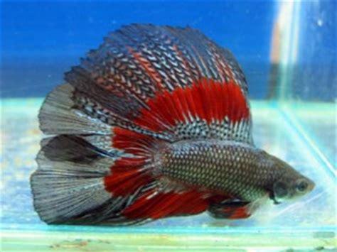 how do bettas live how long does a betta fish live how long does how long does