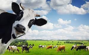 Give a Cow Its Due - Modern Farmer