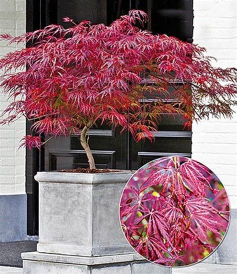 Garten Kaufen Pößneck by Japanischer Ahorn Burgund Garten Japanischer Ahorn