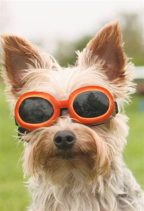 dog  sunglasses blank thinking   card greeting