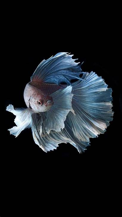 Fish Iphone Betta Wallpapers Fighting 6s Cave
