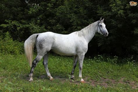 andalusian horses horse breeds stud pets4homes breed facts adoption