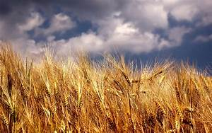 Wheat Field Wallpaper Photos 90 Wallpaper | WallpaperLepi
