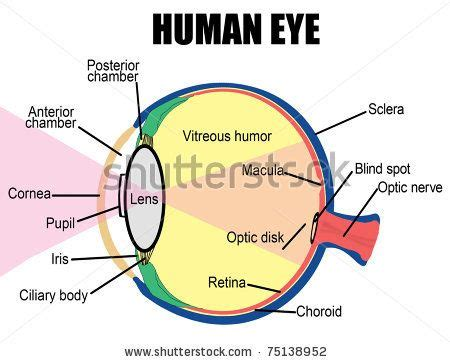 Eye Diagram To Label Kifd by Eye Diagram Labeled For Projects To Try Human Eye