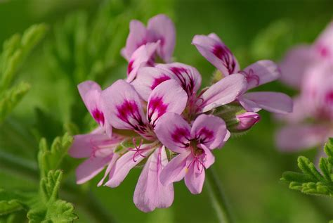 scented geraniums ladies with bottle scented geraniums gin ice cream and sparkling comte de laube