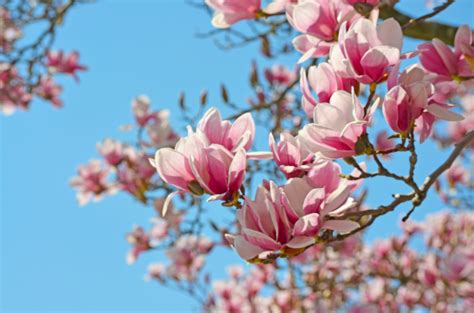 magnolia wallpapers hd backgrounds