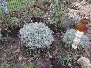 Lavendel Wann Schneiden : wann lavendel schneiden lavendel schneiden wann dr ~ Lizthompson.info Haus und Dekorationen