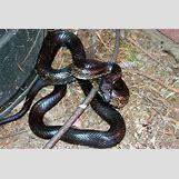 Juvenile Eastern Milk Snake | 500 x 334 jpeg 79kB