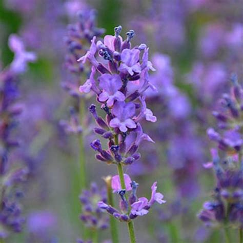lavender for flies garden pests how to manage them infographic