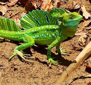 plumed basilisk or green basilisk lizard /Basiliscus ...