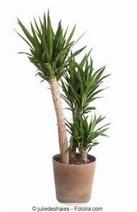 Palme Umtopfen Wurzeln Abschneiden : yucca palme richtig k rzen was darf man abschneiden ~ Frokenaadalensverden.com Haus und Dekorationen