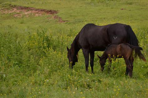 branded habitat horse natural horses grassland plain area fodder mustang environment stallion grass field prairie animal mammal feed herd pasture