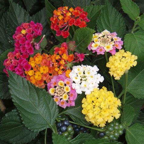 lantana plant size lantana o splendida planta decorativa biaplant