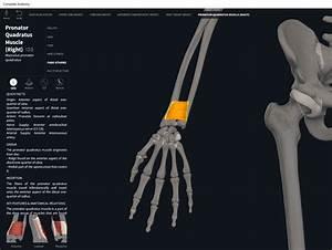 Muscles  Pronator Quadratus   U2013 Anatomy  U0026 Physiology