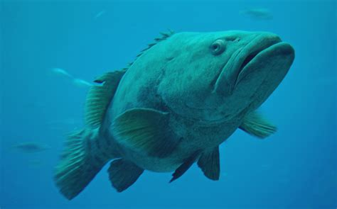 grouper giant pics4learning