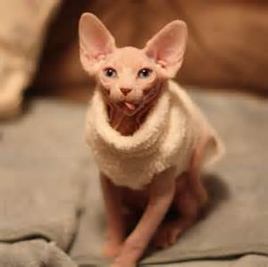 hairless cats for 40 amazing hairless sphynx cat pictures and fur