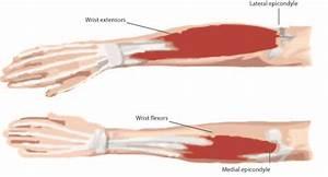 Elbow Tendons Anatomy