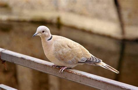 eurasian collared dove facts range habitat diet pictures