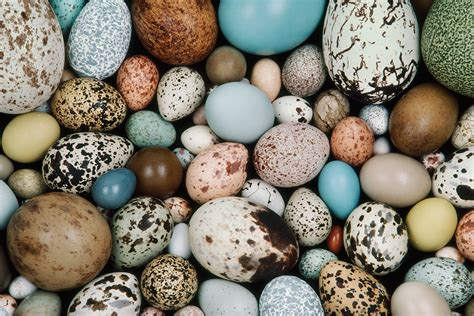 bird eggs may be shaped by the way their mother flies