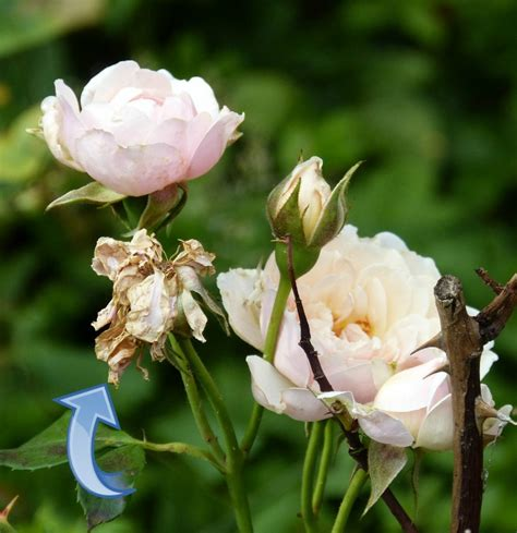 deadheading refers to plants that don t need deadheading the gardening cook