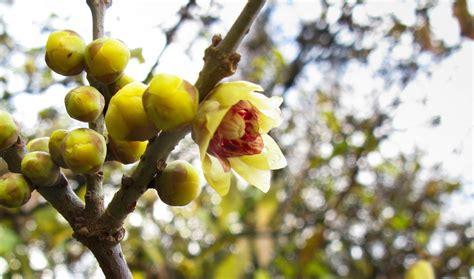 fiori gialli invernali 10 piante resistenti al freddo fioriscono in inverno