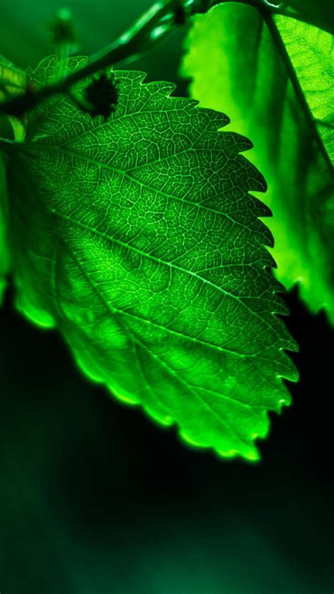 Hd Green Leaves Share Iphone 6 Wallpapers  Hd Iphone 6