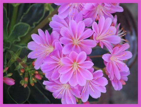 plante grasse fleur plante grasse photo de fleurs de p 224 z mes plus belles