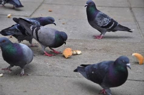 four reasons not to feed the pigeons downtown providence